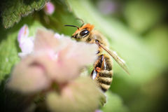 Honey bee. Macro of a honey bee on a flower with a dreamy pastel blur but bee is in sharp focus Stock Images