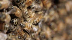 Honey bee macro footage of bee hive and honey production beekeeper stock video