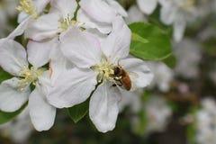 Honey Bee Macro i vår, den vita äppleblomningen blommar tätt upp, samlar biet pollen och nektar Knoppar för Apple träd, vårbackg arkivfoto