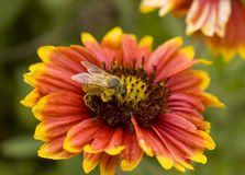 Honey Bee. Macro image of honey bee on flower cover with pollen Royalty Free Stock Photos