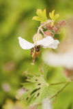 Honey bee macro. Image of a honey bee in the garden. Shallow depth of field royalty free stock photography