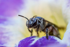 Free Honey Bee Macro In Flower Stock Photography - 35900102