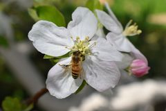 Honey Bee Macro na primavera, as flores brancas da flor da maçã fecha-se acima, a abelha recolhe o pólen e o néctar Botões da árv fotografia de stock