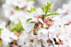 Honey Bee macro que cosecha el polen de Cherry Blossom Imagen de archivo