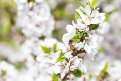 Honey Bee macro que cosecha el polen de Cherry Blossom Fotografía de archivo libre de regalías