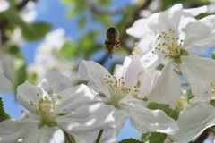 Honey Bee Macro in Springtime, white apple blossom flowers close up, bee collects pollen and nectar. Apple tree buds, spring backg. Round in South Jordan, Utah stock image