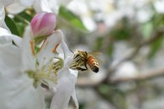 Honey Bee Macro in Springtime, white apple blossom flowers close up, bee collects pollen and nectar. Apple tree buds, spring backg. Round in South Jordan, Utah Royalty Free Stock Photo