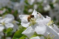 Honey Bee Macro in Springtime, white apple blossom flowers close up, bee collects pollen and nectar. Apple tree buds, spring backg. Round in South Jordan, Utah Royalty Free Stock Photography