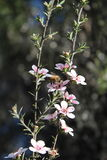 Honey Bee on Manuka Flower. Honey bee gathering pollen from a pink  manuka flower Royalty Free Stock Photo
