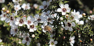 Honey Bee on Manuka Flower. Honey bee gathering pollen from a white manuka flower Stock Photo