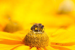 Honey bee on mexican aster Stock Photography