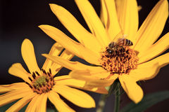 Honey Bee and Mini Sunflower Stock Photography