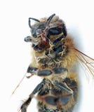 Honey Bee muerto en un fondo blanco Imagen de archivo libre de regalías