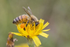 Honey Bee mycket av pollen Arkivfoto