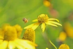 Honey Bee na margarida amarela imagem de stock