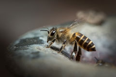 Honey Bee in Nature Background. Royalty Free Stock Images