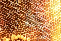 Honey Bee nest Stock Image