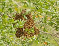 Bee hive. Huge cluster of honey bees working in their bee hive in the woods stock photography