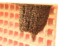 Honey Bee Nest natural Foto de archivo