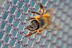 Honey bee on the net Royalty Free Stock Image