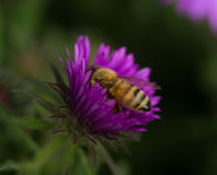 Honey bee in a New England Aster. Honey bee perched inside a purple New England Aster Stock Photo