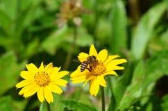 Honey Bee no amarelo tropical margarida-como o wildflower em Krabi, Tailândia Foto de Stock Royalty Free