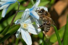 Honey Bee occidental Imagen de archivo