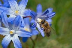 Honey Bee occidental Imagenes de archivo