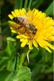 Honey Bee occidental Foto de archivo
