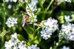 Honey Bee occidental Imagen de archivo libre de regalías