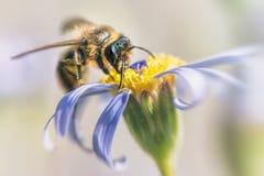 Honey Bee occidental, mellifera d'api Photographie stock libre de droits
