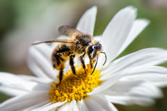 Honey Bee occidental, mellifera de los Apis Imágenes de archivo libres de regalías
