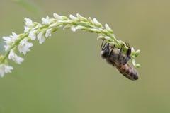 Honey Bee occidental, mellifera de los Apis Imagen de archivo
