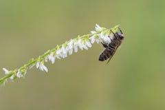 Honey Bee occidental, mellifera de los Apis Imagenes de archivo