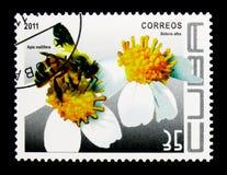 Honey Bee occidental (mellifera) de los Apis, agujas españolas (el Bidens se mezcla Foto de archivo libre de regalías