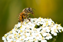 Honey Bee occidentale Immagini Stock