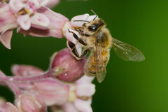 Honey Bee occidentale Fotografia Stock