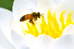Honey Bee occidentale Immagine Stock