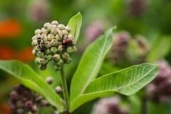 Honey Bee och röda utskjutande knoppar för aktieMilkweedblomma arkivbilder