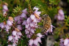 Free Honey Bee On Bell Heather Stock Photo - 215550830