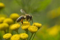 Free Honey Bee On Yellow Flower Royalty Free Stock Photo - 33694735