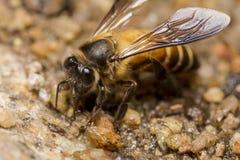 Honey Bee-onderzoek naar mineraal Royalty-vrije Stock Foto