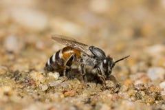 Honey Bee-onderzoek naar mineraal Royalty-vrije Stock Fotografie