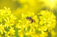 Honey bee onyellow flower Royalty Free Stock Image
