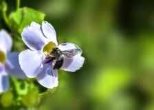 Honey Bee op een Blauwe Bloem van de Trompetwijnstok op Vage Groene Achtergrond stock foto's