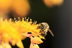 Honey Bee op Gele Bloem royalty-vrije stock foto