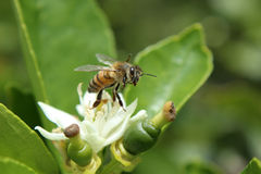 Honey Bee on an Orange Blossom Stock Image