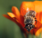 Honey bee on orange flower Royalty Free Stock Photos
