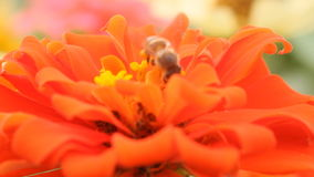 Honey bee in a orange zinnia flower Royalty Free Stock Photos