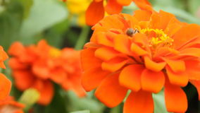 Honey bee in a orange zinnia flower stock video